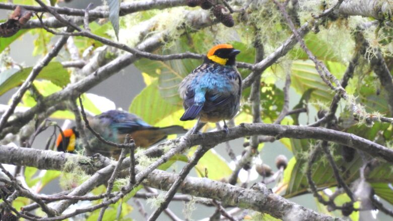 Saffron-corwned Tanager (
