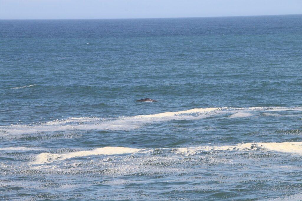 En hval. Stillehavet, Oregon, UDA.