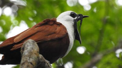 Trelappet Klokkefugl (Procnias tricarunculatus). Bajo del Tigre, Monteverde, Costa Rica.