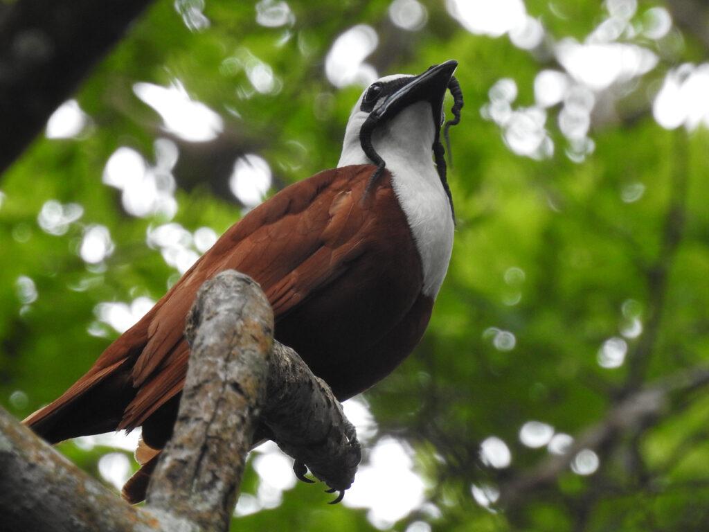 Three-wattled Bellbird. Trelappet Klokkefugl (Procnias tricarunculatus). Bajo del Tigre, Monteverde, Costa Rica.