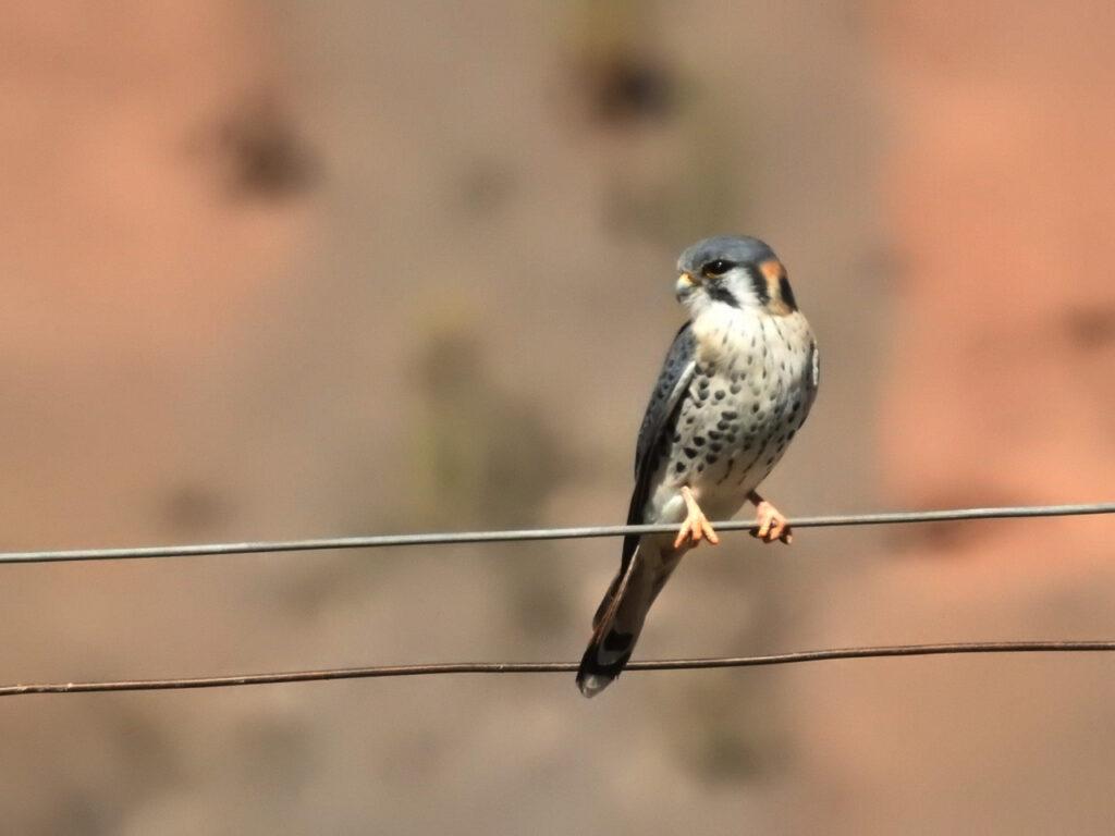 Amerikansk Tårnfalk (Falco sparverius). En af de arter vi så under Global BIg Day 2019. Ruta Nacional 51, Salta, Argentina.