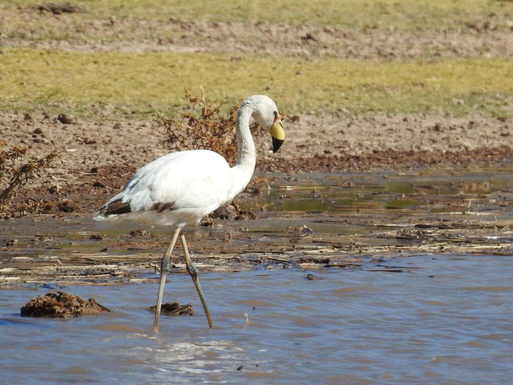 Det er ikke alle flamingoer, der er lyserøde. (Punaflamingo Phoenicoparrus jamesi) - eller James's Flamingo, som den også hedder. Lagunas del Toro, Salta, Argentina.