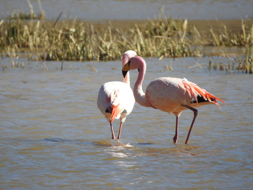 Punaflamingo (Phoenicoparrus jamesi) - eller James's Flamingo, som den også hedder. Lagunas del Toro, Salta, Argentina.