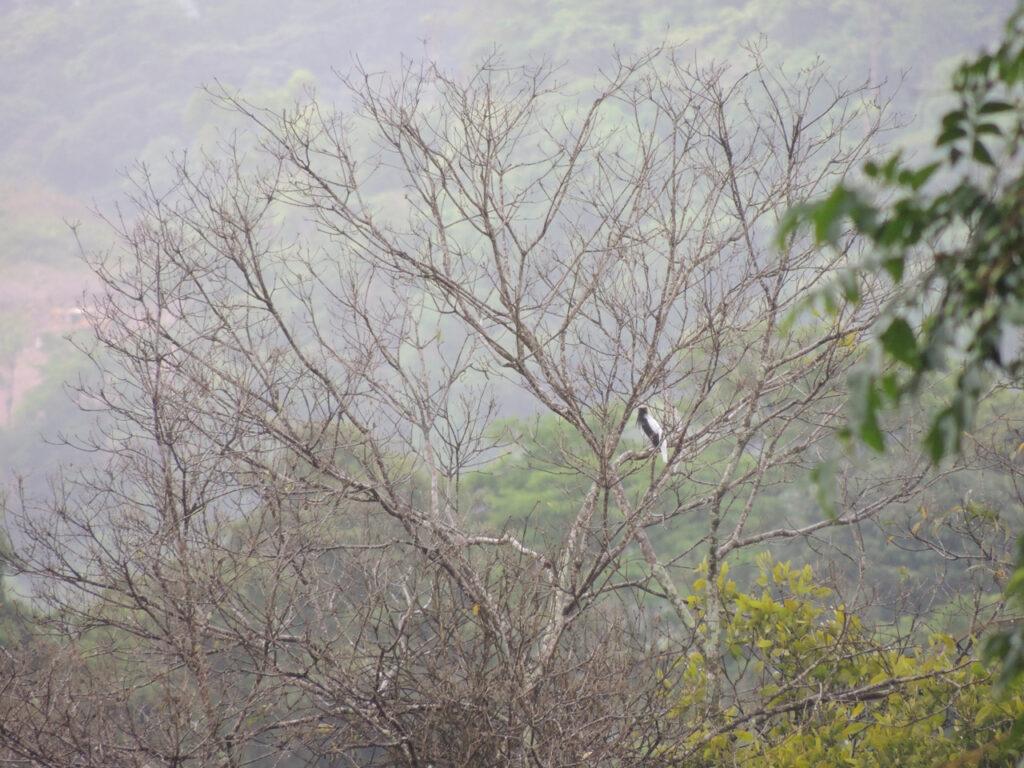 Skægklokkefugl (Procnias averano). Asa Wrigth Natrure Centre, Arimadalen, Trinidad.