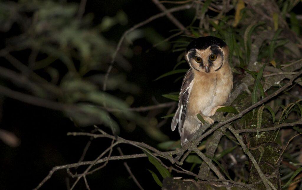 Owling in Northwest Argentina. Ugletur i Nordvestargentina. Buff-fronted Owl (Aegolius harrisii). Quebrada de Escoipe, Provincia de Salta, Argentina. © Giselle Mangini.