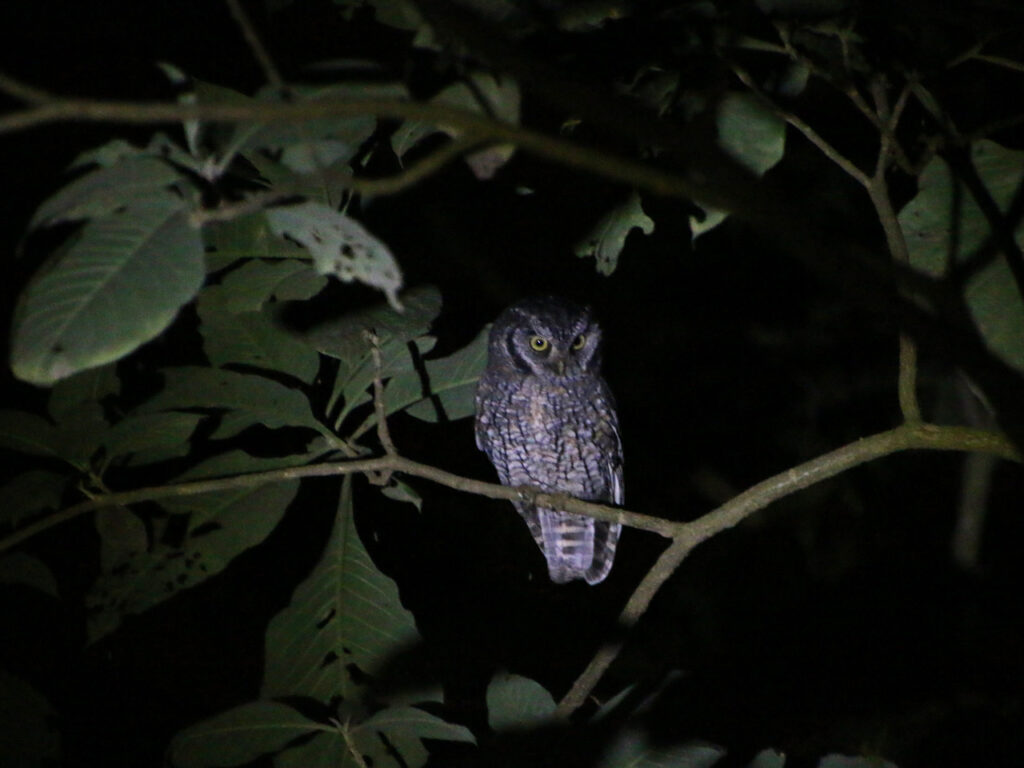 Owling in Northwest Argentina. Ugletur i Nordvestargentina. Tropical Screech-Owl (Megascops choliba). La Misión, Provincia de Salta, Argentina.
