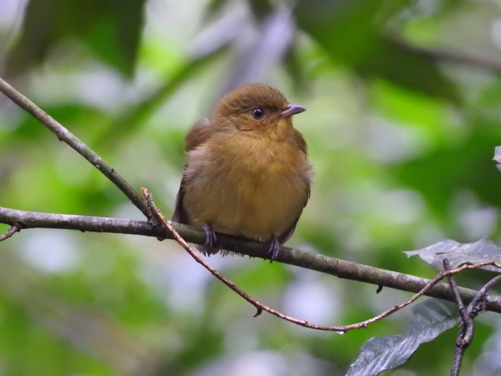En hun Halebåndsmanakin (Pipra fasciicauda). Sendero Macuca, Iguazu Nationalpark, Argentina.