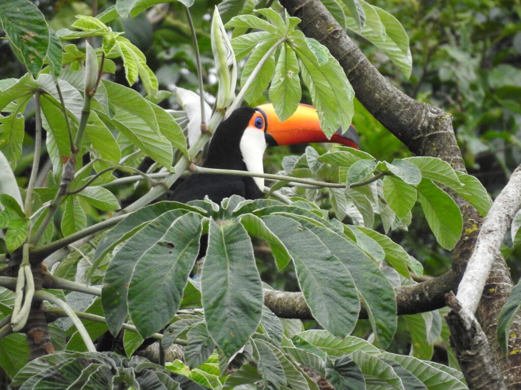 Det er ikke kun vand man kan se ved Iguazuvandfaldene, fx kan man se Kæmpetukan (Ramphastos toco). Denne opholdt sig lige ved billetsalget. Iguazu Nationalpark, Argentina.